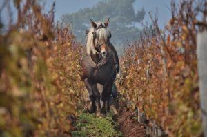 Labour dans une vigne en biodynamie