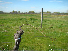 Le palissage consiste à attacher le cep au fil de fer afin de contrôler la direction de sa croissance.