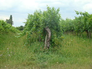 Etat de la vigne avant le relevage, le rognage et l'éprampage