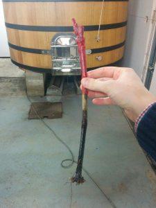 Le vigneron profite du repos végétatif hivernal pour replanter les pieds de vigne morts de maladie, de vieillesse ou d'accident (de tracteur par exemple).