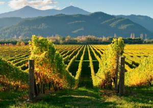 La Nouvelle Zélande produit 70% de vin blanc et 30% de vin rouge