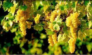 D'origine italienne, l'Ugni-Blanc est le principal cépage utilisé dans la production du Cognac
