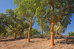 Forêt de chêne liège (Quercus suber) juste après le levage du liège (Alentejo, Portugal).