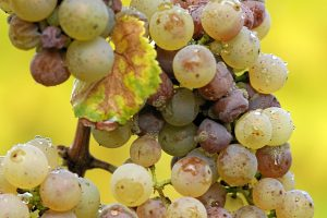 Propice au développement de la pourriture noble, le Riesling donne d'excellents vins moelleux