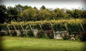 A quoi servent les rosiers plantés aux pieds des vignes?