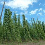 Plantation de houblon