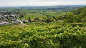 les vignes de Deidesheim