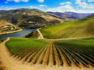 Vigne du vignoble de la Ribera Del Douero