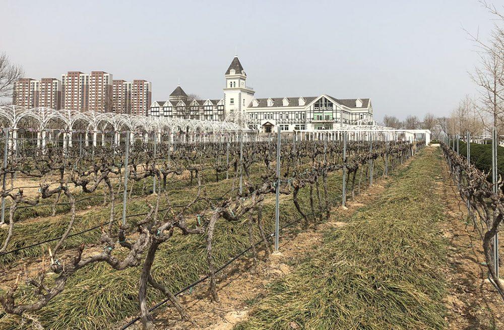 Le cabernet gernischt est le cépage dominant du vignoble de yantai en chine