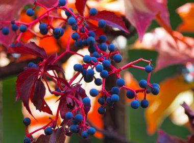 L'ampélographie est la science qui étudie la vigne et les cépages